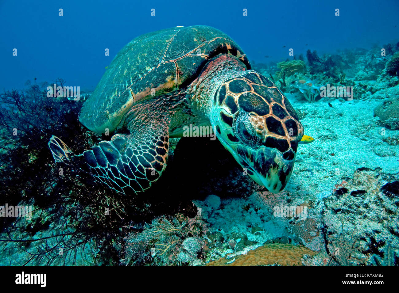 Tartaruga embricata (Eretmochelys imbricata), Playa del Carmen, la penisola dello Yucatan, Messico, Caraibi Immagini Stock