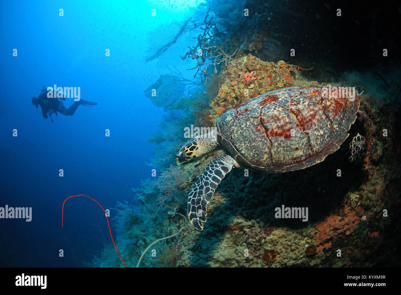 Scuba Diver e la tartaruga embricata (Eretmochelys imbricata), Moalboal, isola di Cebu, Filippine, Asia Immagini Stock