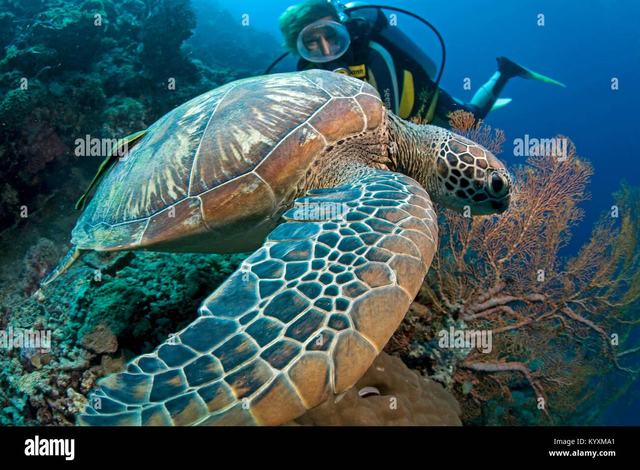 Scuba Diver e la tartaruga verde (Chelonia Mydas), Moalboal, isola di Cebu, Filippine, Asia Immagini Stock