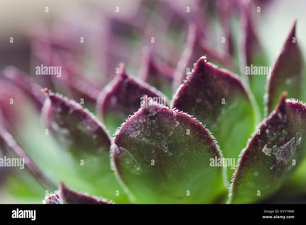 Close-up di succulente congelati Immagini Stock