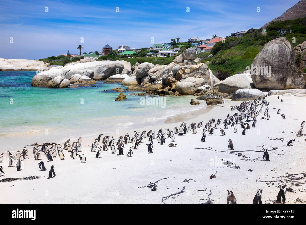 Massi Bay colonia di pinguini di African Jackass pinguini a Boulders Beach, Provincia del Capo, in Sud Africa Foto Stock