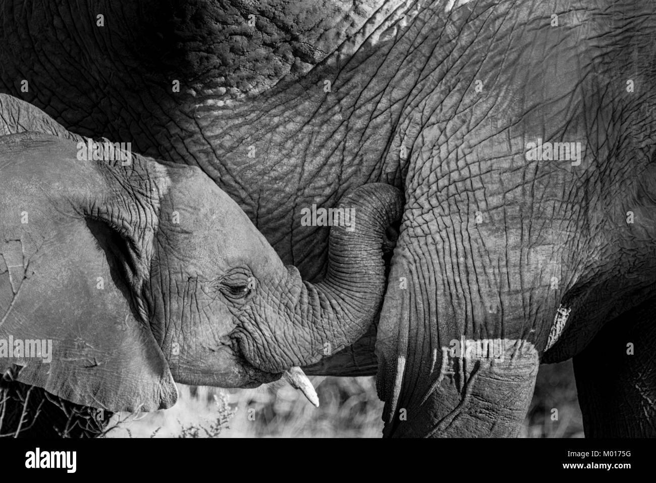 Immagine in bianco e nero di un bambino Elefante africano Loxodonta africana, mostrando affetto a sua madre, Bufalo Immagini Stock