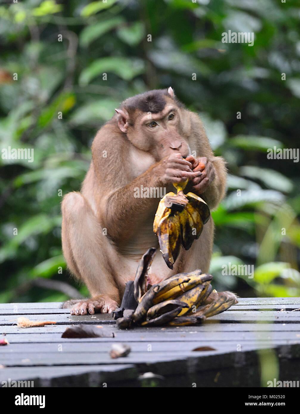 Southern Pig-coda Macaque (Macaca nemestrina) mangiare banane, Sepilok Orangutan Centro di riabilitazione, Borneo, Immagini Stock