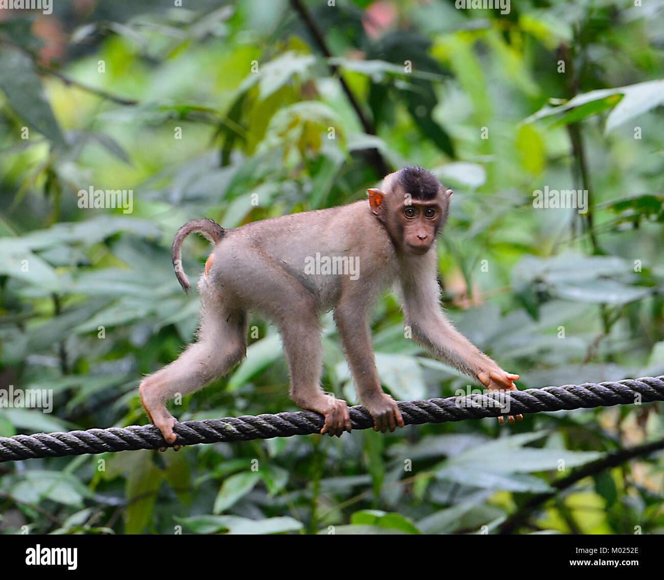 Southern Pig-coda Macaque (Macaca nemestrina), Sepilok Orangutan Centro di riabilitazione, Borneo, Sabah, Malaysia Immagini Stock