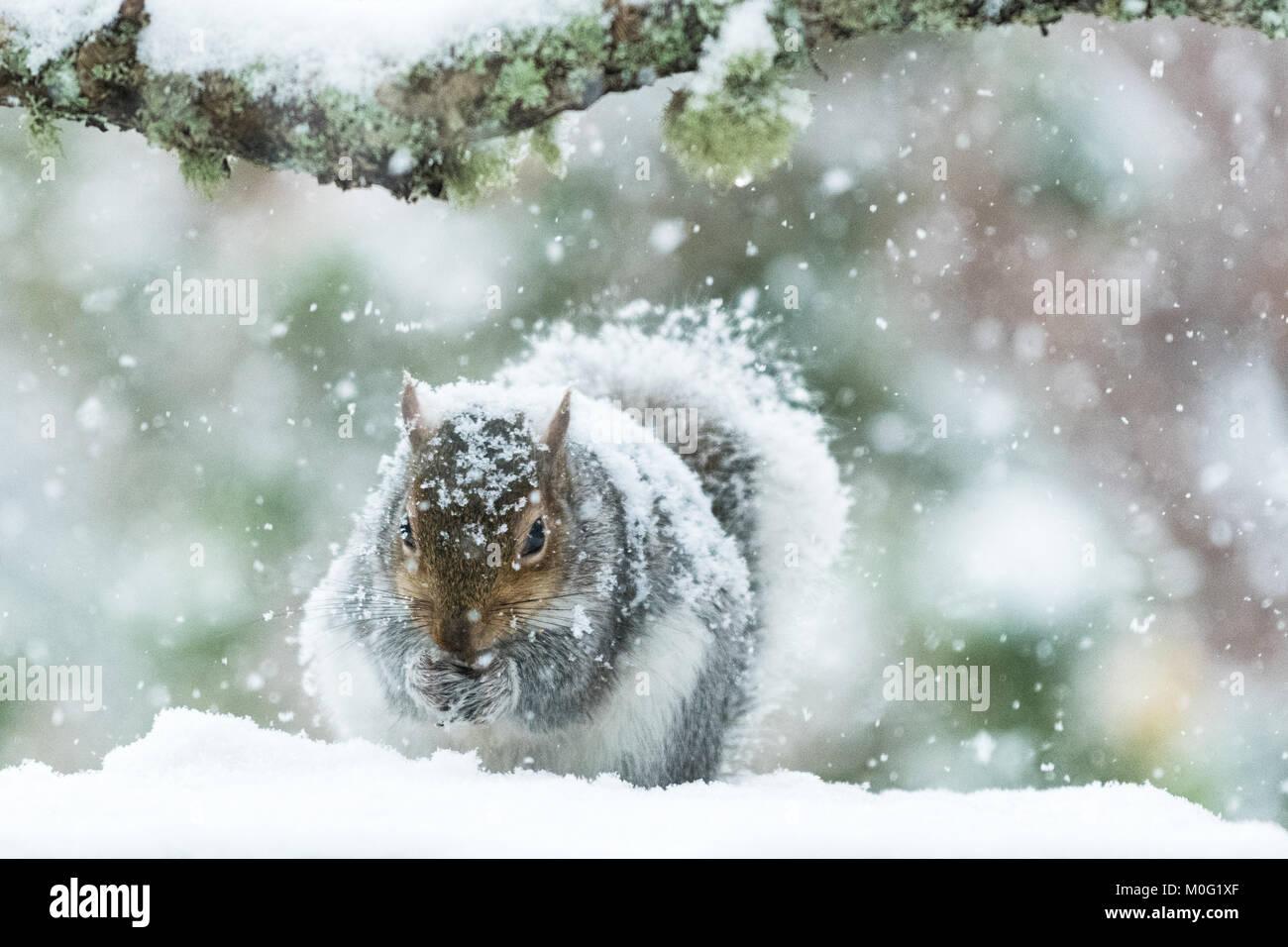 Scoiattolo grigio in Gran Bretagna in inverno - coperto di neve spessa - Scozia, Regno Unito Immagini Stock