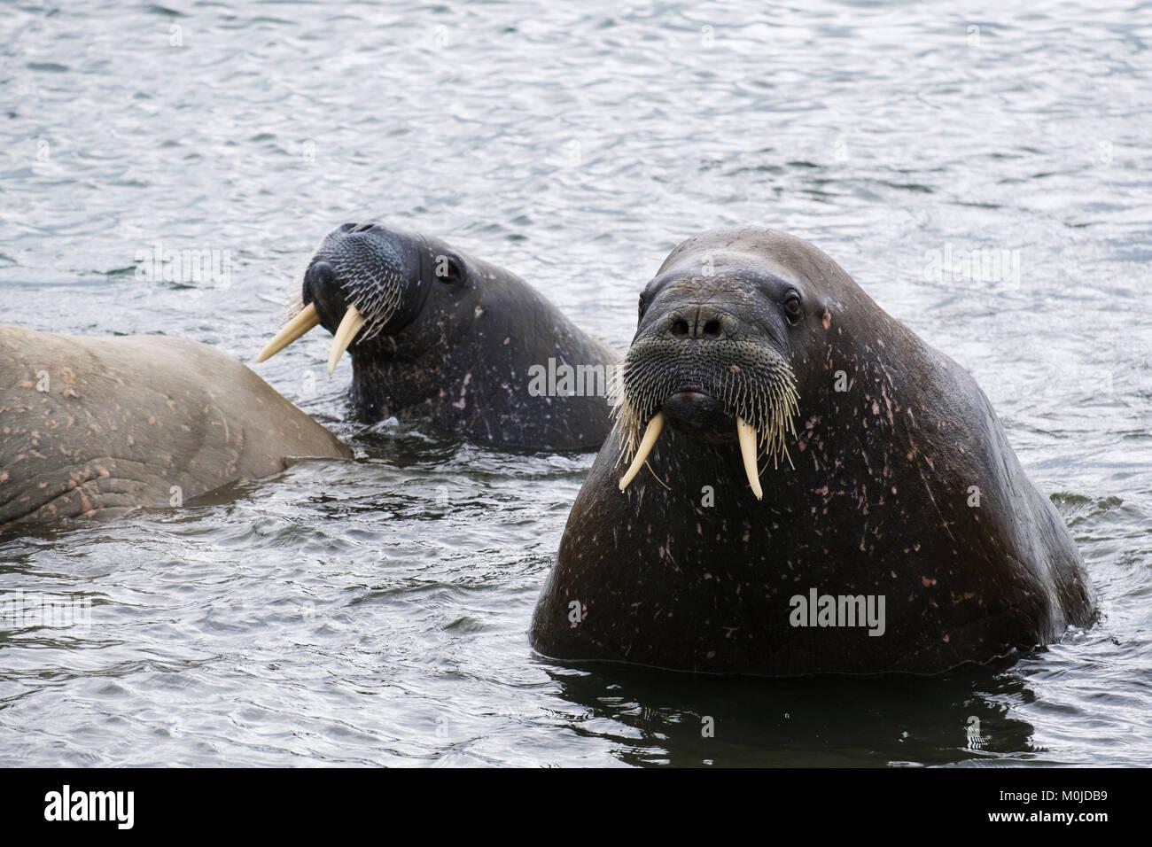 Per adulti (trichechi Odobenus rosmarus) nuoto offshore nel mare sulla costa artica in estate 2017. Isola Spitsbergen, Immagini Stock