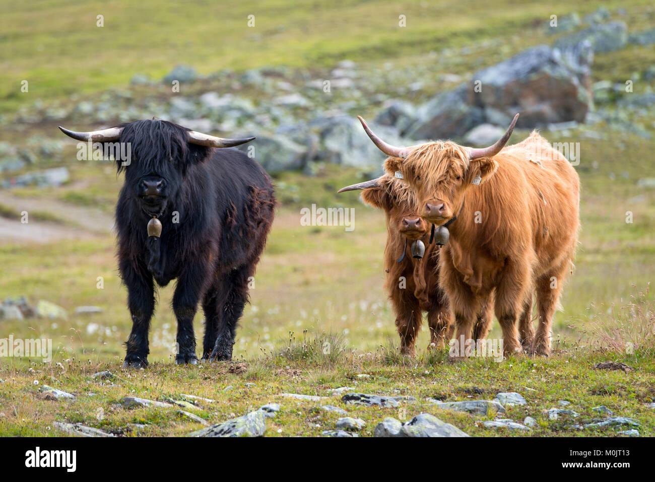 Highland scozzesi bestiame sul pascolo alpino, Scheidseen, Galtür, Tirolo, Austria Immagini Stock
