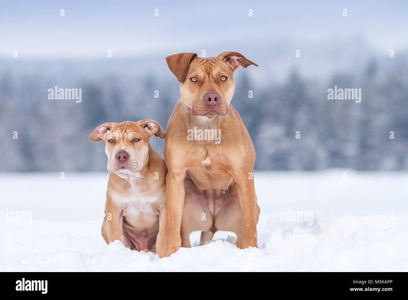 Buca di lavoro Bulldogs nella neve Immagini Stock