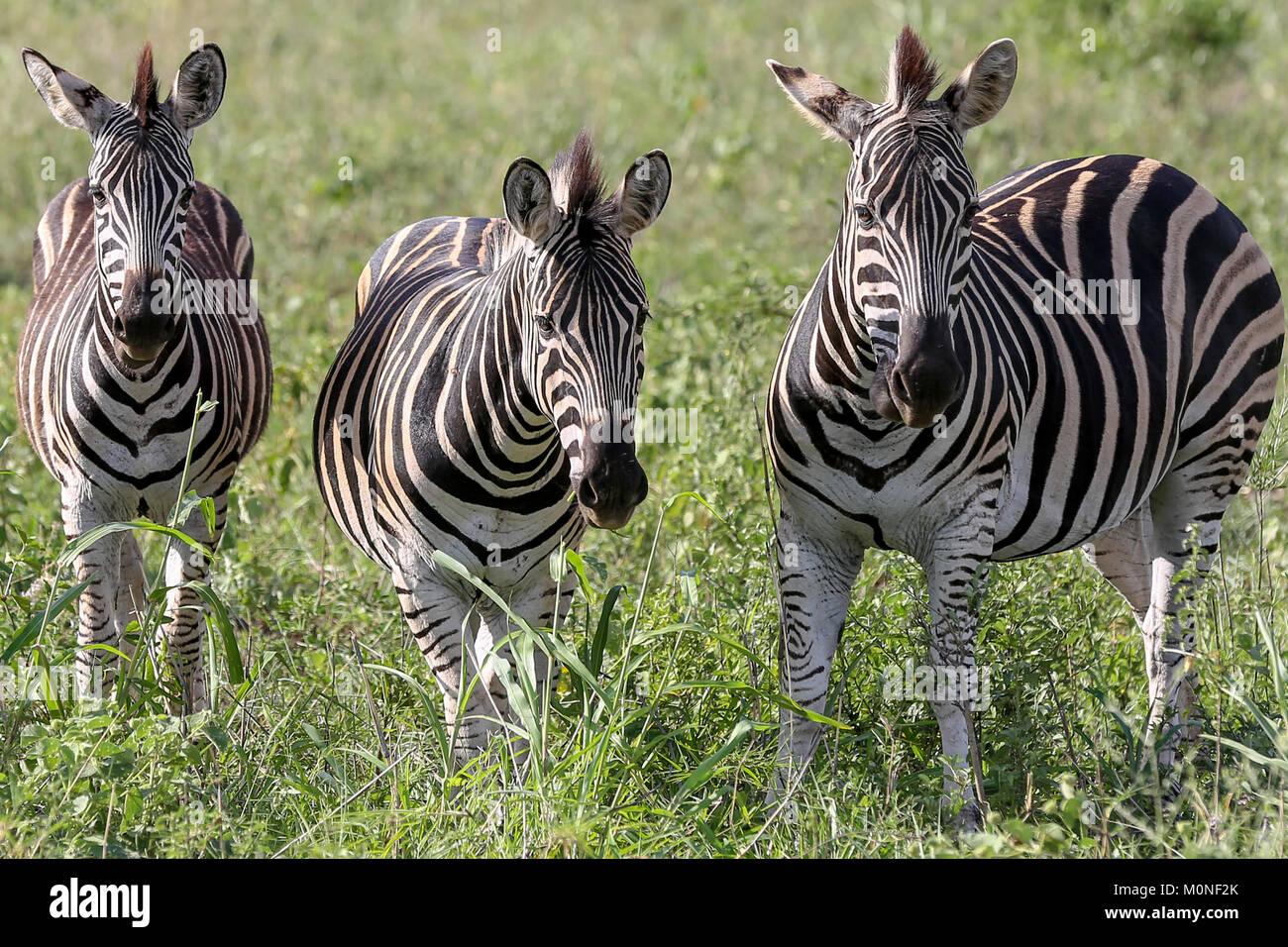 Tre Zebra di fronte alla fotocamera su pascoli sfondo Immagini Stock