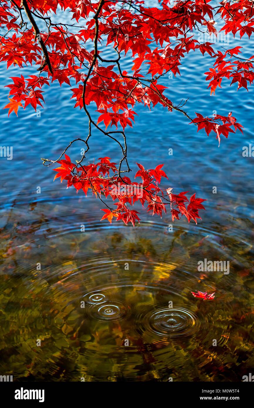 Acero Blu Giapponese un acero giapponese visualizzazione rosso vivace le foglie