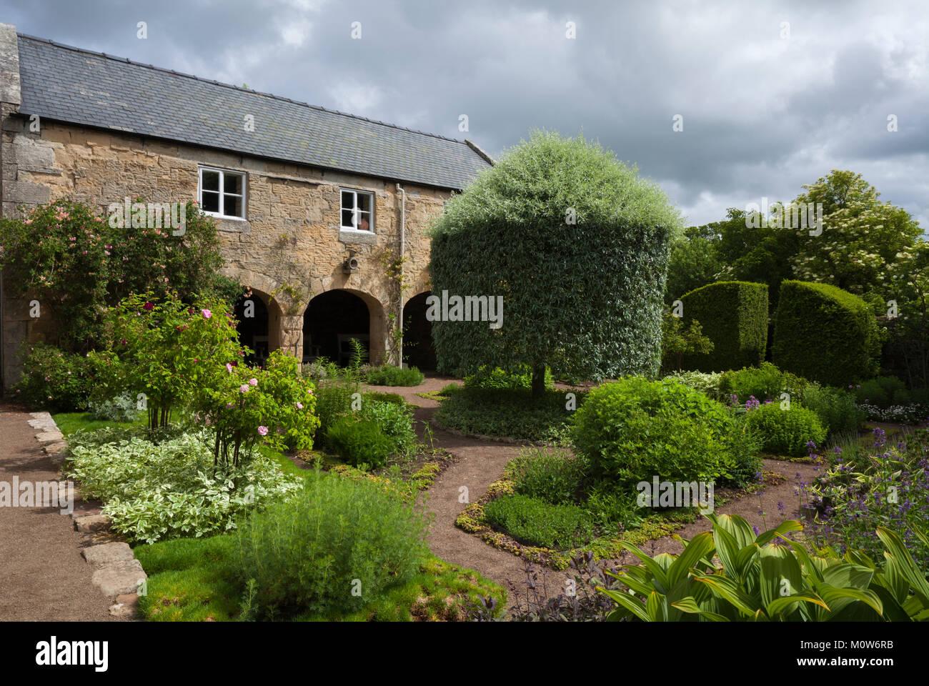 In physic garden con il pianto argento-leafed pear tree a metà strada attraverso la sua estate clipping e le Immagini Stock