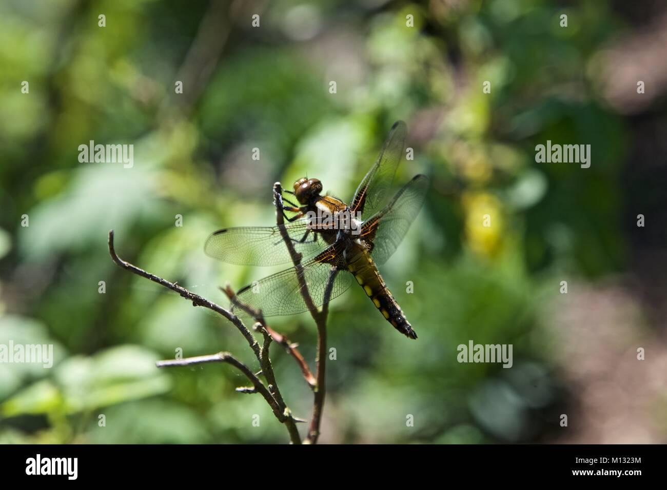 Dragonfly su un bastone in un giardino Immagini Stock