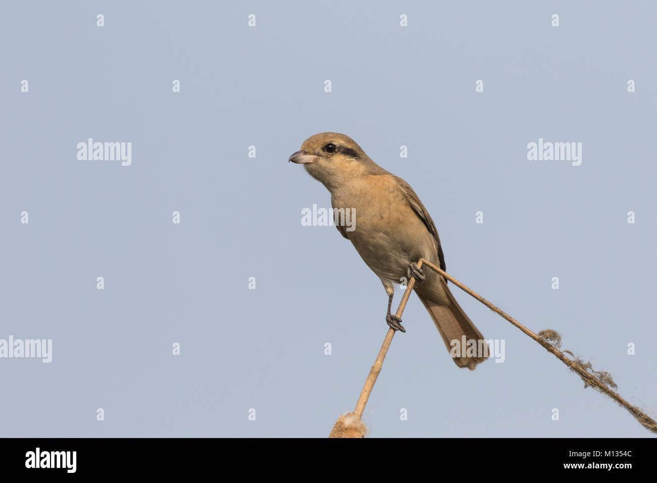 Bella Isabelline Shrike uccello appollaiato su un ramoscello secco con uno sfondo pulito Immagini Stock