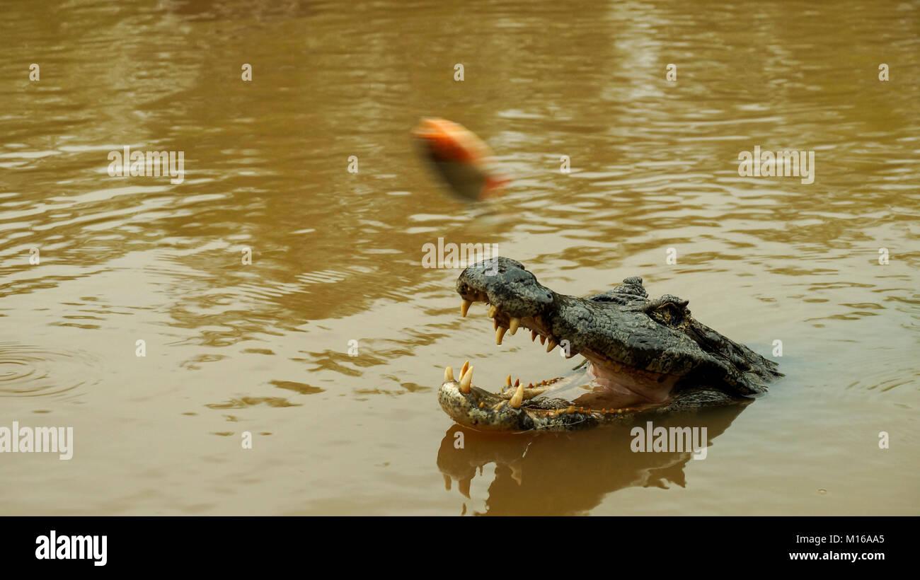 Alligatore in Amazonas, Bolivia. Foto Stock
