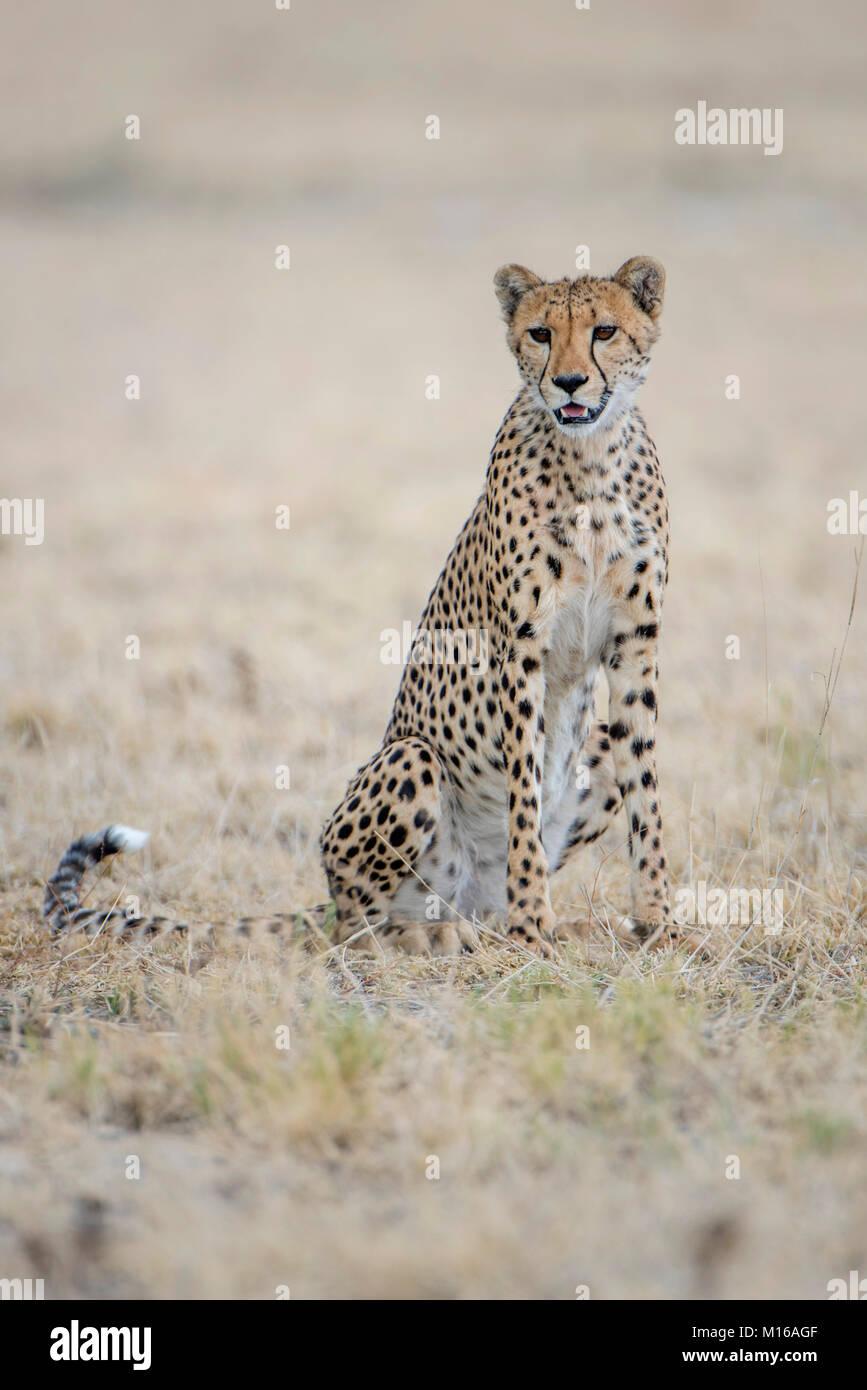 Ghepardo (Acinonyx jubatus), seduti, Nxai Pan National Park, Ngamiland distretto, Botswana Immagini Stock