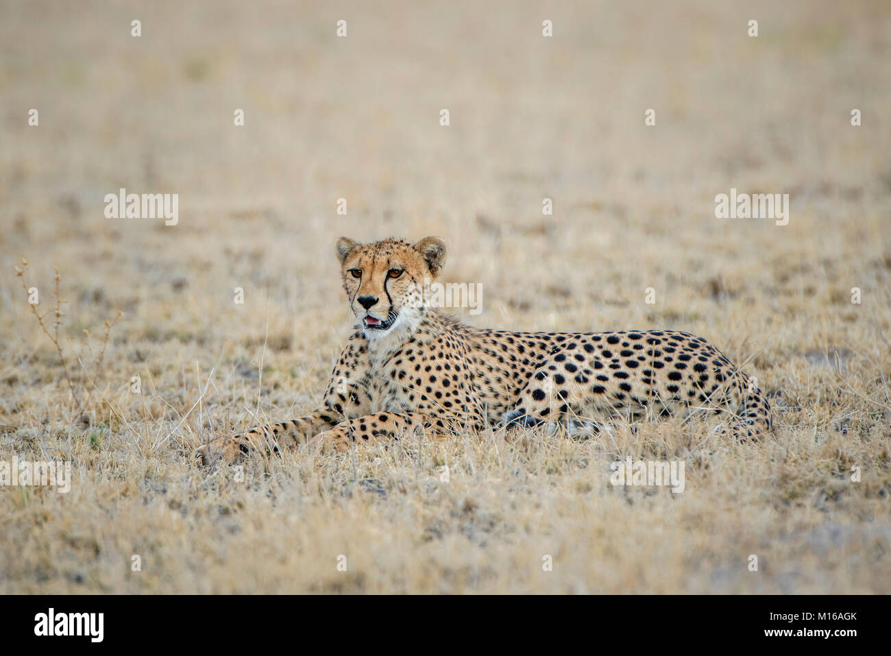 Ghepardo (Acinonyx jubatus), sdraiato, Nxai Pan National Park, Ngamiland distretto, Botswana Immagini Stock