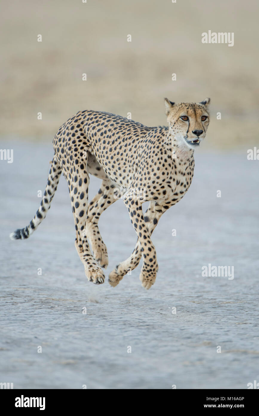 Ghepardo (Acinonyx jubatus) acceso, Nxai Pan National Park, Ngamiland distretto, Botswana Immagini Stock