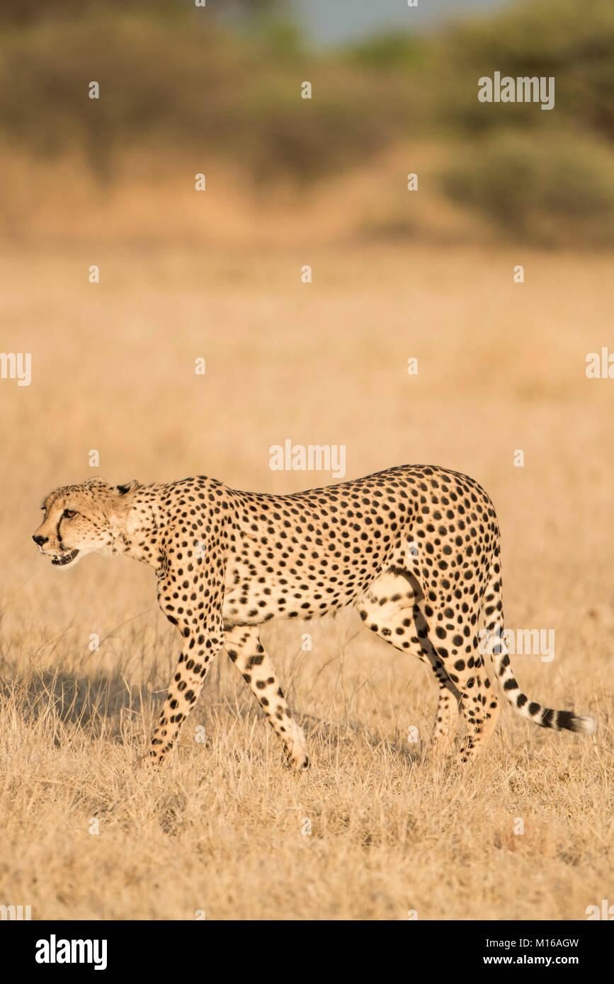 Ghepardo (Acinonyx jubatus), corsa, Nxai Pan National Park, Ngamiland distretto, Botswana Immagini Stock