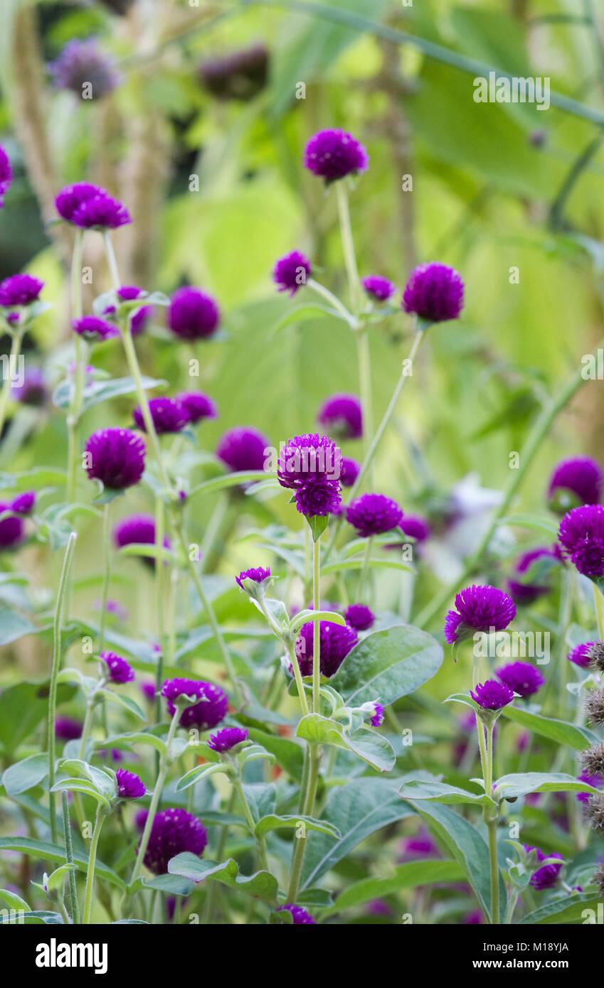 Gomphrena globosa fiori. Amaranto del globo. Immagini Stock
