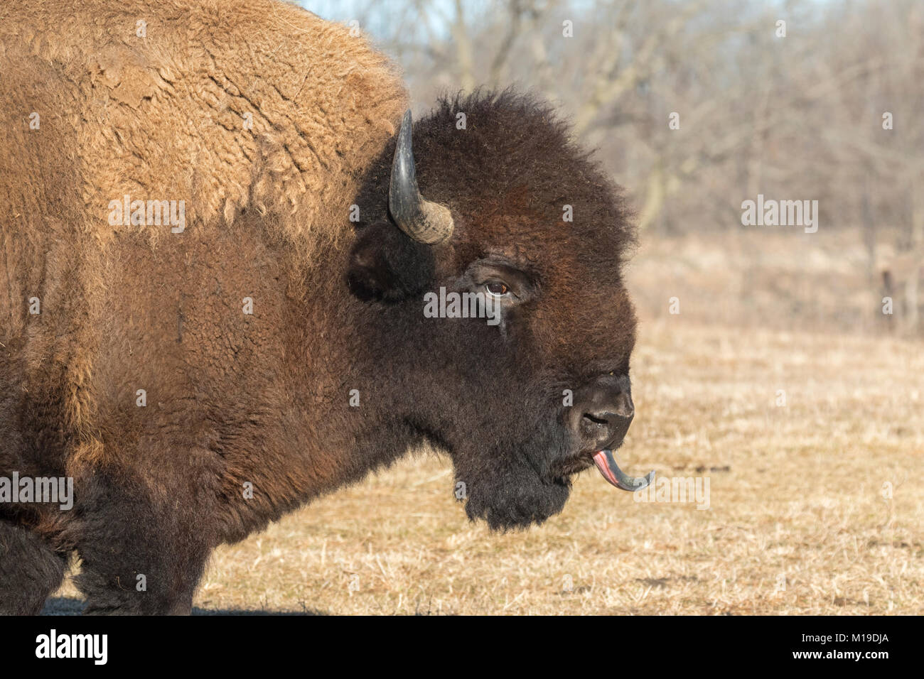 I bisonti americani (Bison bison) a Neal Smith Wildlife Refuge Immagini Stock