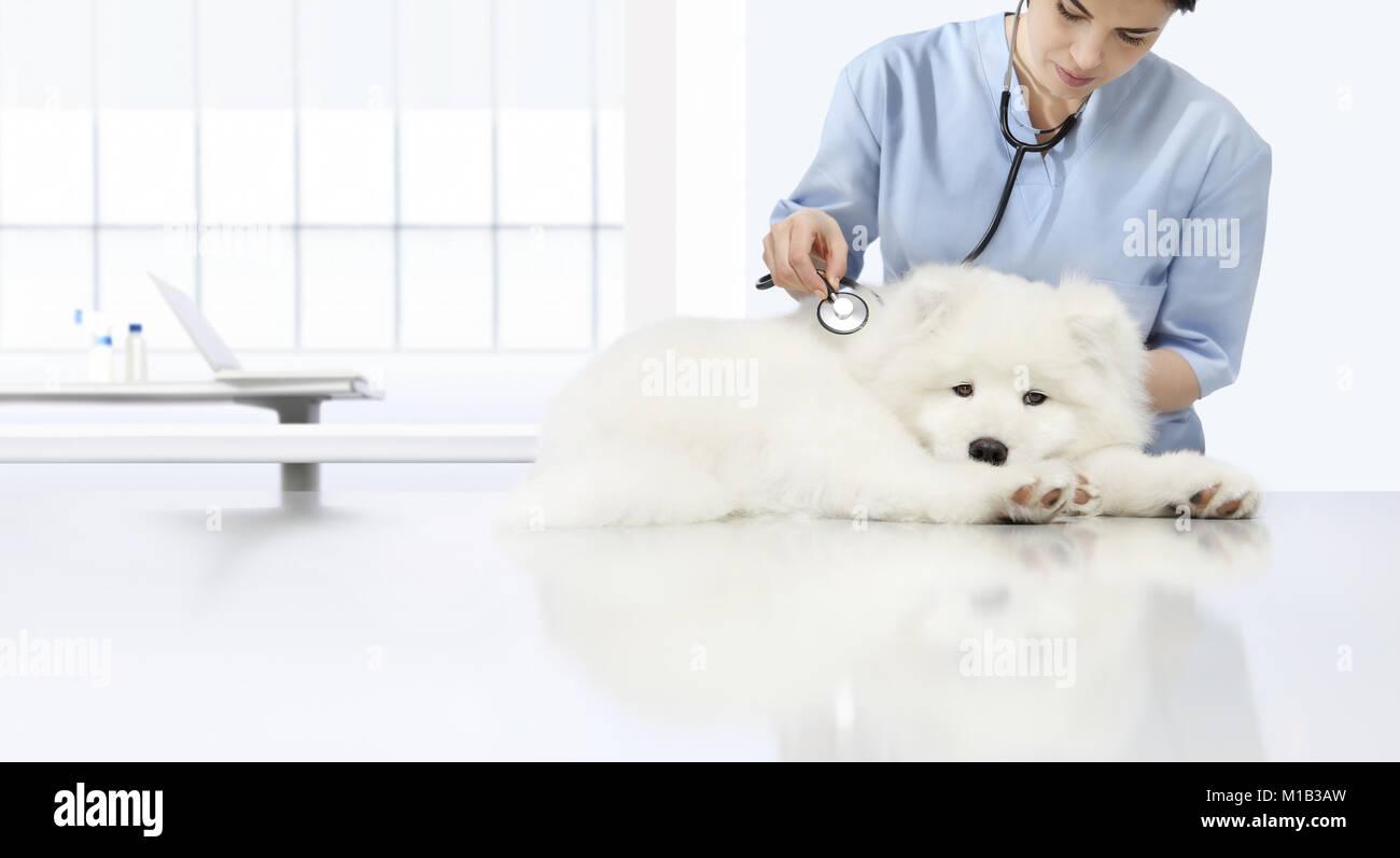 Esame veterinario cane malato, veterinario con uno stetoscopio sulla tavola in clinica veterinaria Immagini Stock