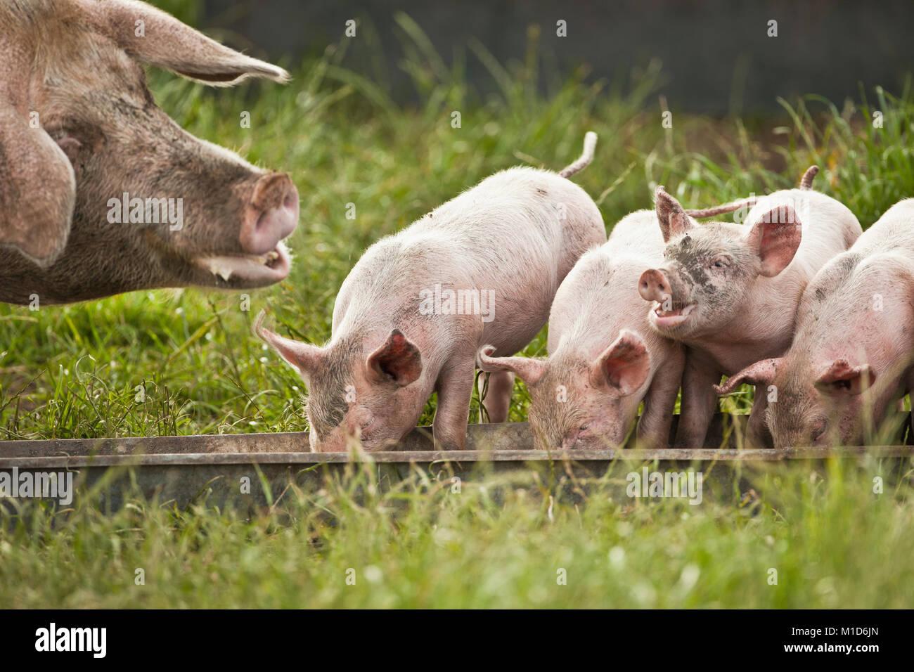 I Paesi Bassi, Kortenhoef, suini. Scrofa e suinetti. Immagini Stock