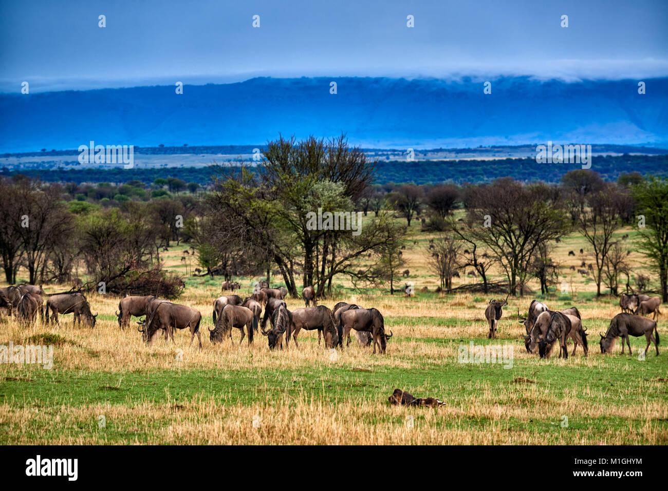 Formazioni di nubi a Great Rift Valley, il paesaggio nel Parco Nazionale del Serengeti con blue wilderbeests, sito Immagini Stock