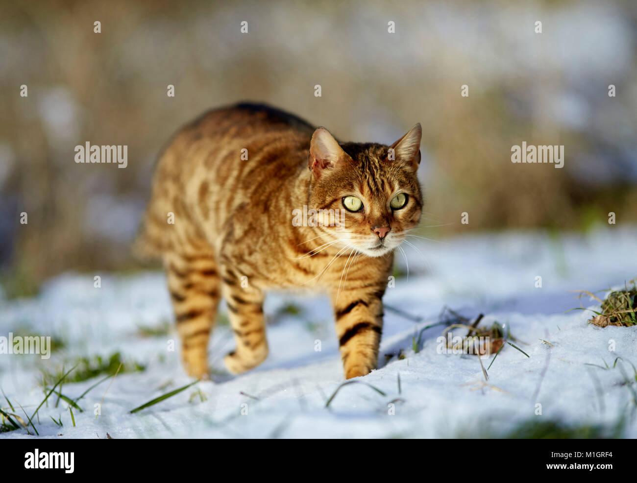 Gatto bengala. Adulto passeggiate sulla neve. Germania Immagini Stock
