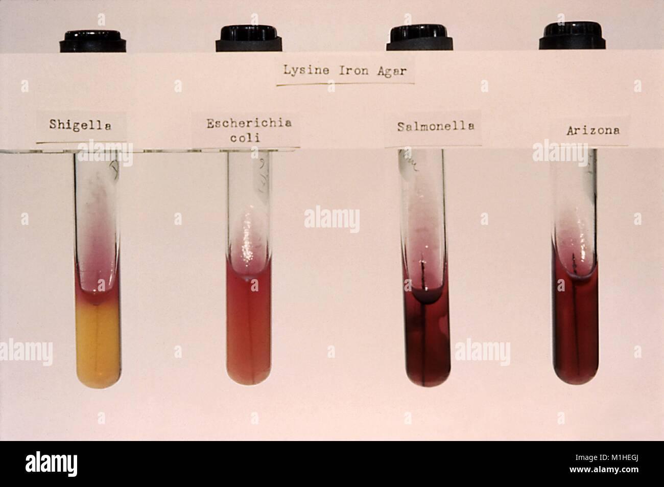 Fotografia di quattro provette con diverse colture di batteri (Arizona sp, Escherichia coli, Salmonella sp, 1961. Immagini Stock