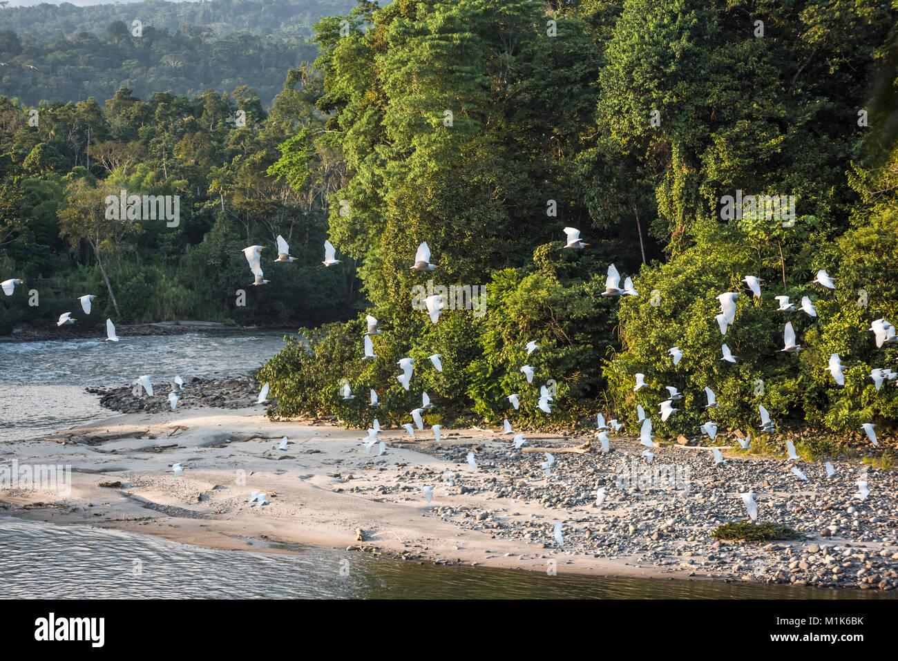 La foresta pluviale amazzonica. Fiume Misahualli. Provincia di Napo, Ecuador Immagini Stock
