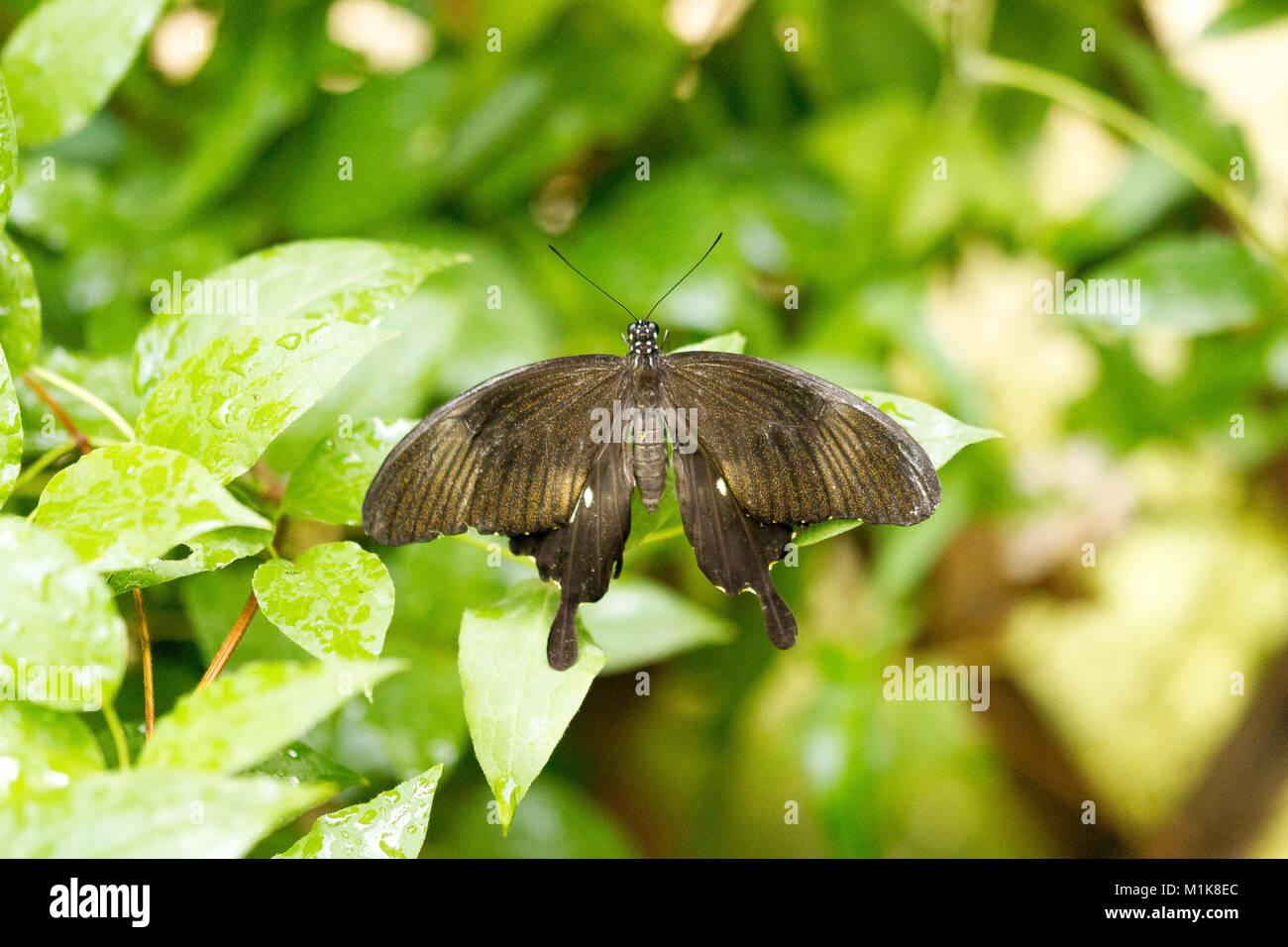 Lime a coda di rondine, Butterfly Papilio demoleus, Rose a coda di rondine Immagini Stock