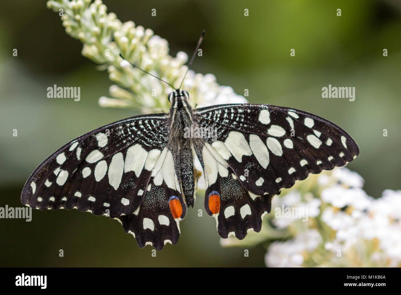 Lime o a coda di rondine a scacchi butterfly Papilio Demoleus Immagini Stock