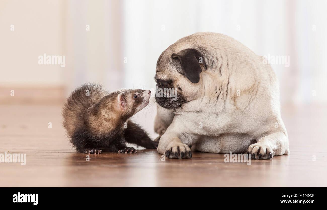 Amicizia animale: Ferret sniffing in corrispondenza con il pug cucciolo. Germania Immagini Stock