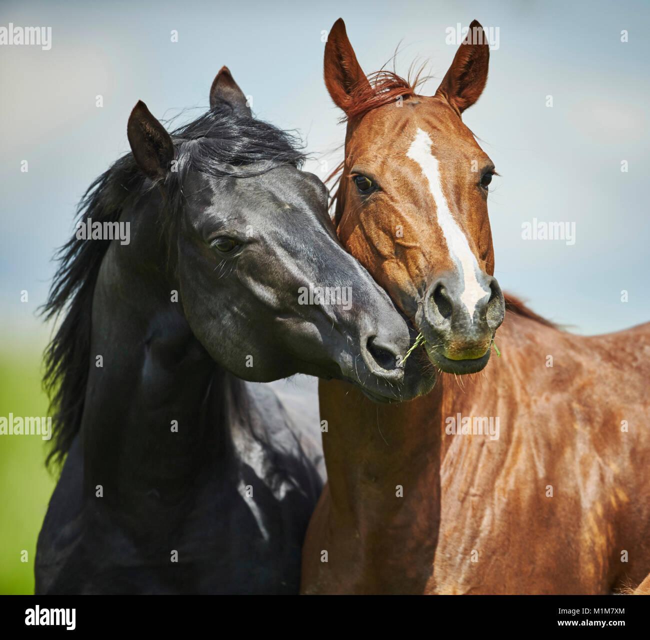 American Quarter Horse. Stallone nero corteggiare un castagno mare su un prato. Germania Immagini Stock