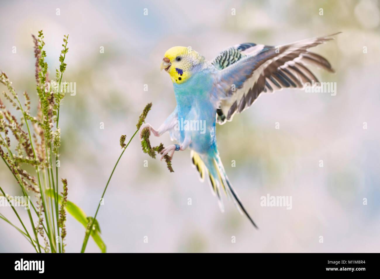 Rainbow Budgerigar, Budgie (Melopsittacus undulatus) in atterraggio approccio al Miglio di aia (Echinochloa crus Immagini Stock