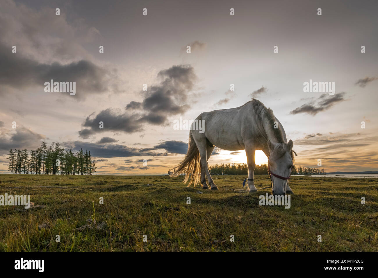Cavallo al pascolo sulle rive del lago Hovsgol al tramonto, Hovsgol provincia, Mongolia, Asia Centrale, Asia Foto Stock