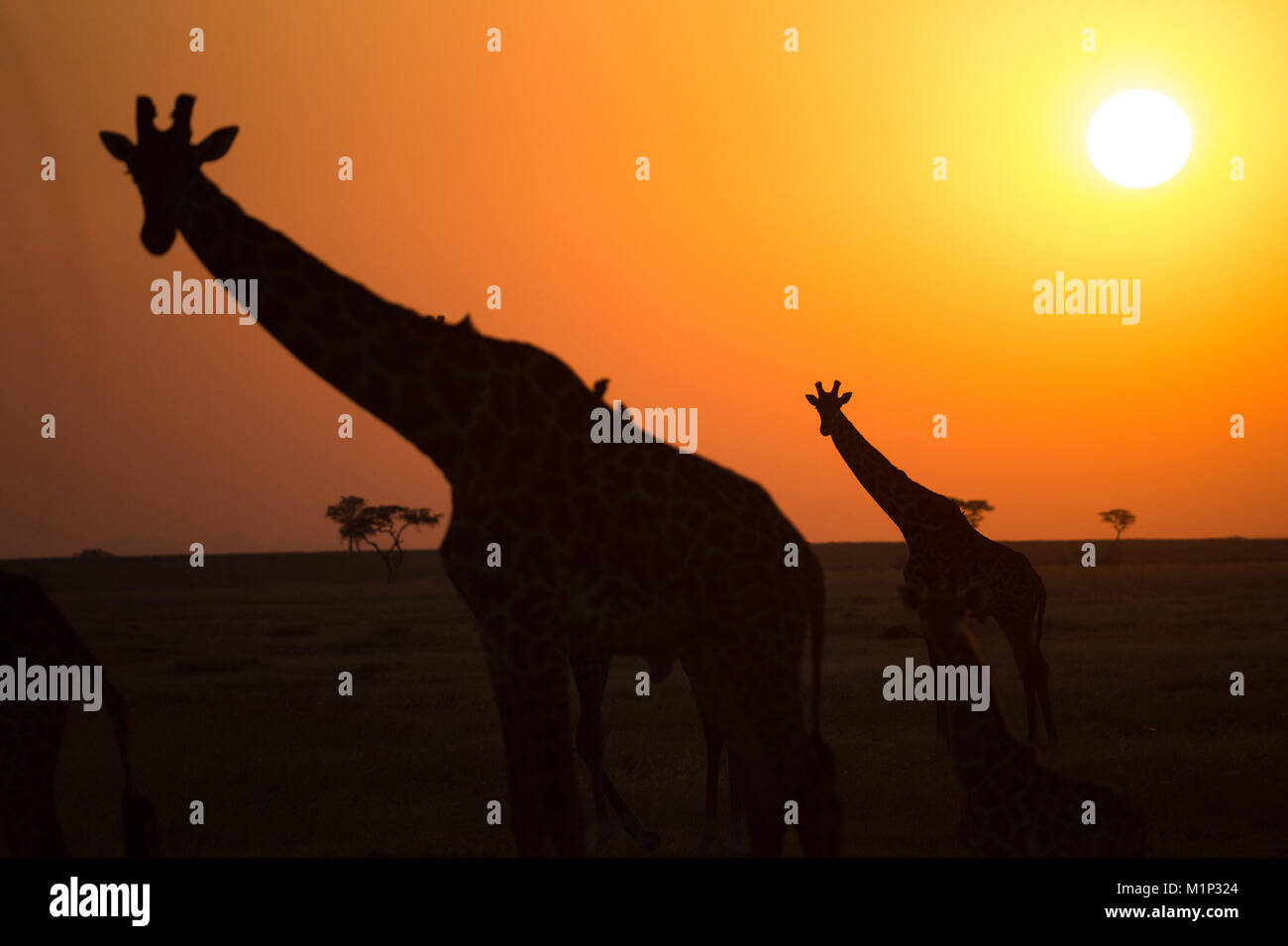 Sagome delle giraffe (Giraffa camelopardalis) al tramonto, Serengeti National Park, Tanzania, Africa orientale, Immagini Stock