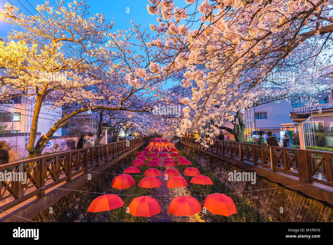 La molla Cherry Blossom Festival a flusso Yeojwacheon di notte, Jinhae, Corea del Sud Immagini Stock