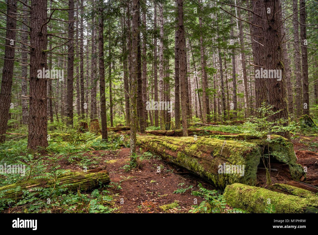 Foresta pluviale temperata intorno al lago Buttle campeggio in Strathcona Provincial Park, l'isola di Vancouver, Immagini Stock
