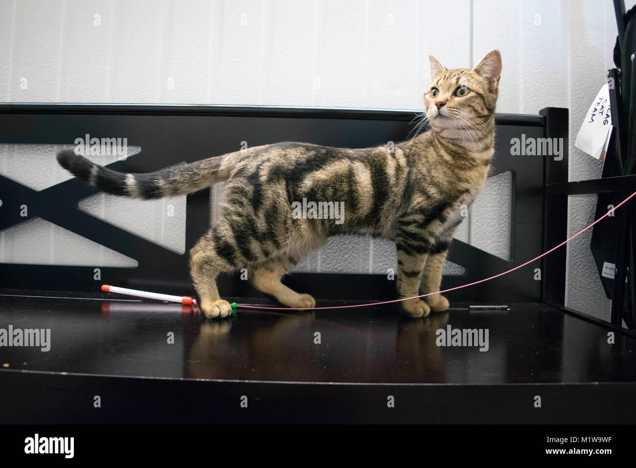 Un gatto esplora i suoi dintorni a Yolo County Animal Shelter. Immagini Stock