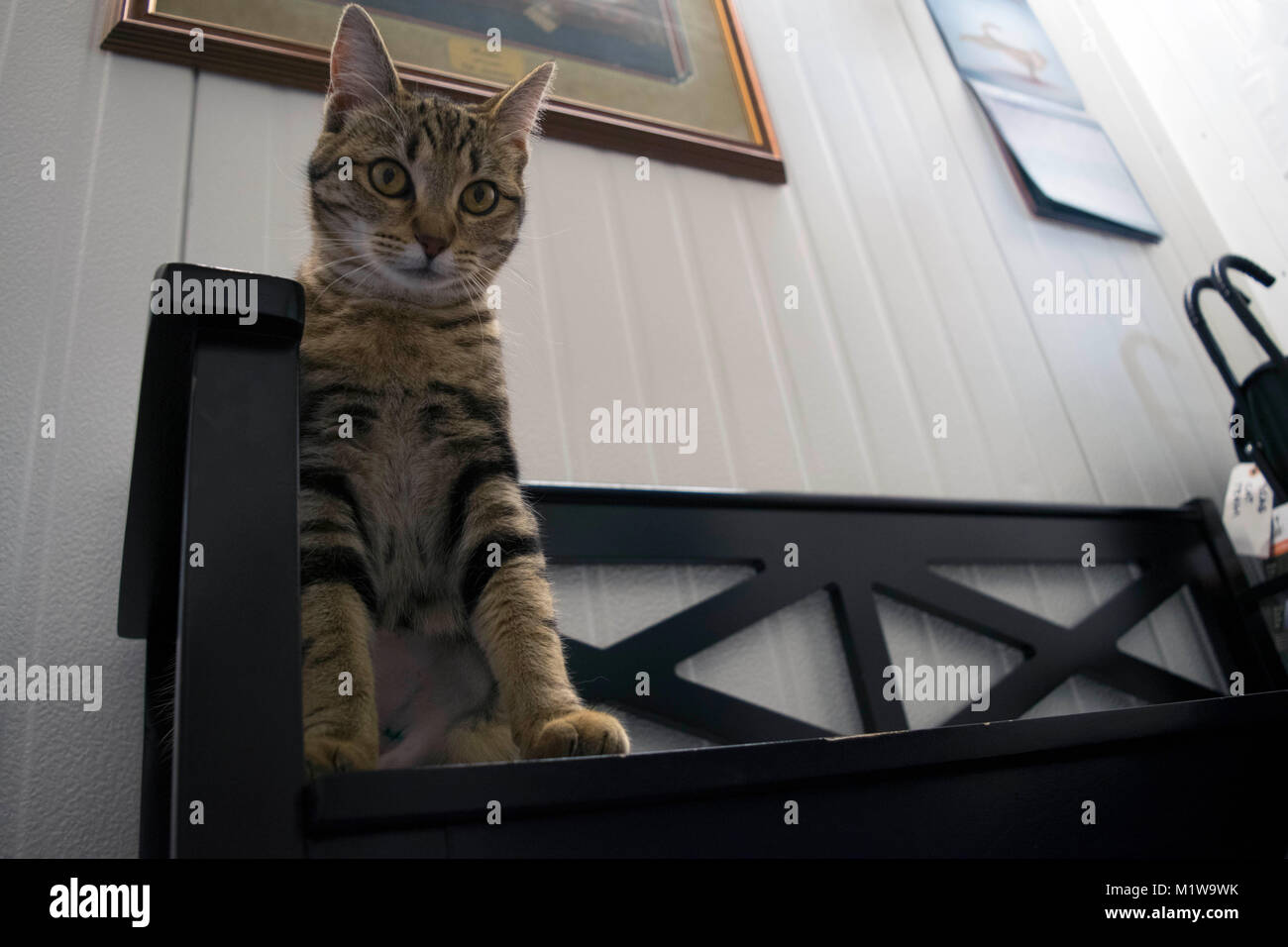 Un gatto esplora i suoi dintorni a Yolo County Animal Shelter. Foto Stock