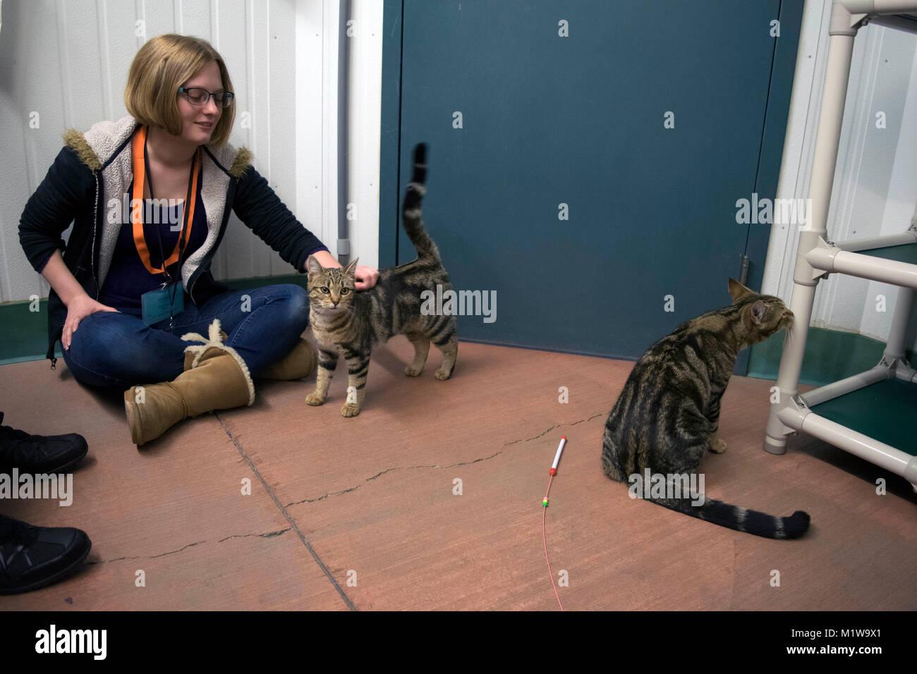 Un volontario con il Yolo County Animal Shelter aiuta a socializzare i gatti fino per l'adozione. Immagini Stock
