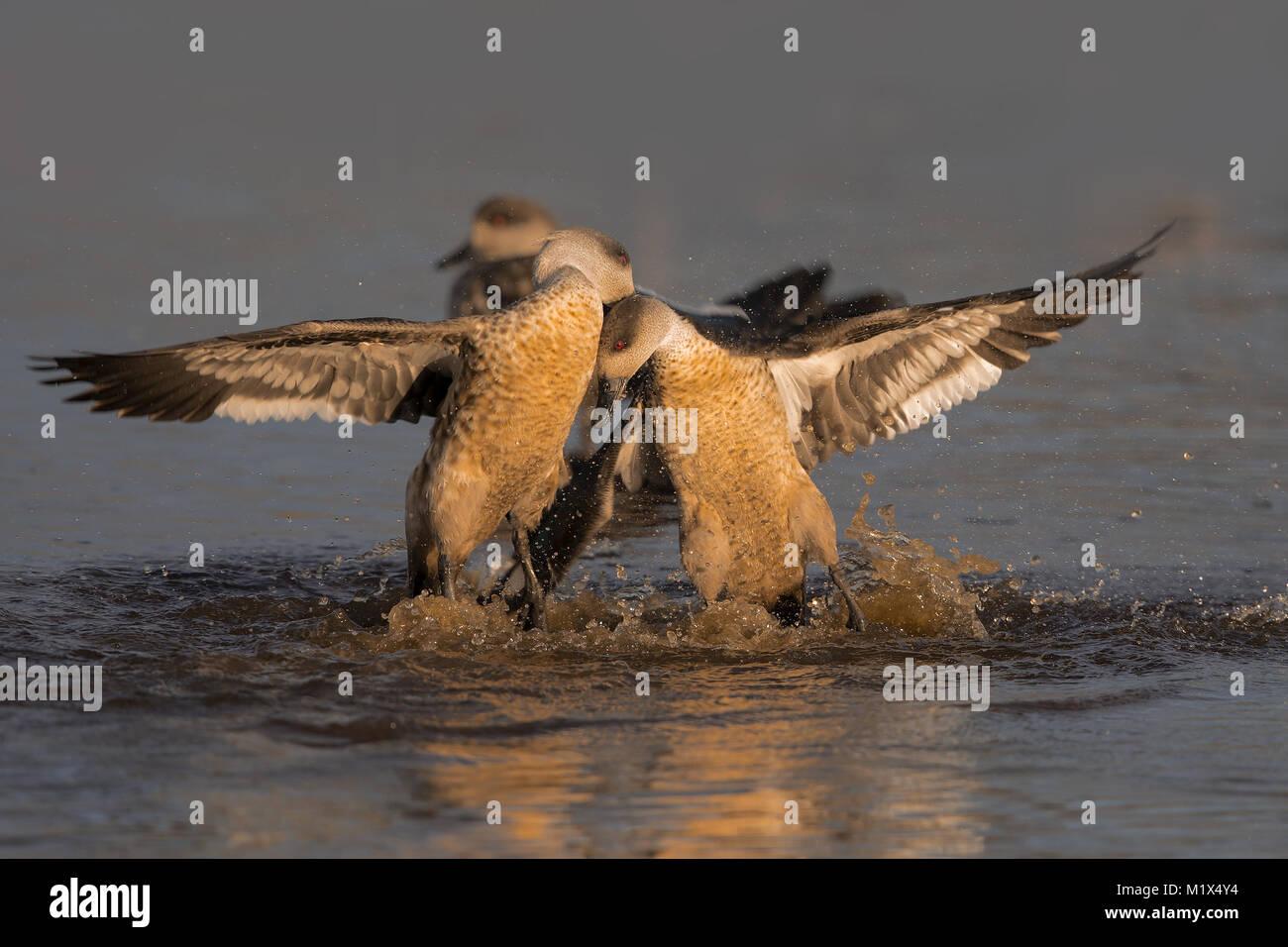 Nasello di Patagonia crested duck Immagini Stock