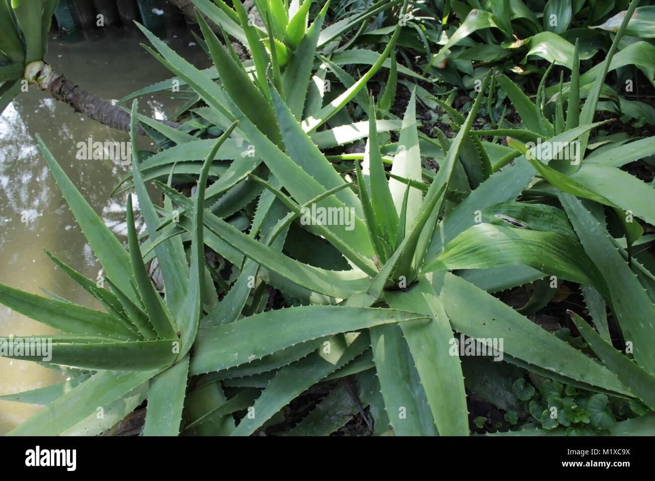 Aloe In Giardino aloe vera piante in giardino sotto il sole foto & immagine