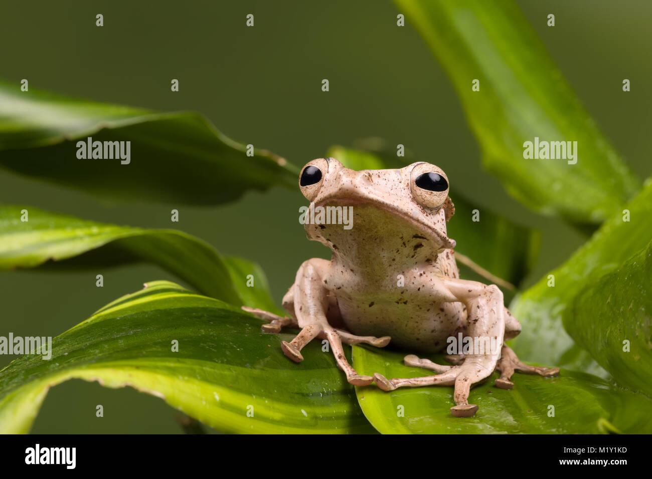 Adulto Borneo Eared rana su foglie verdi Immagini Stock