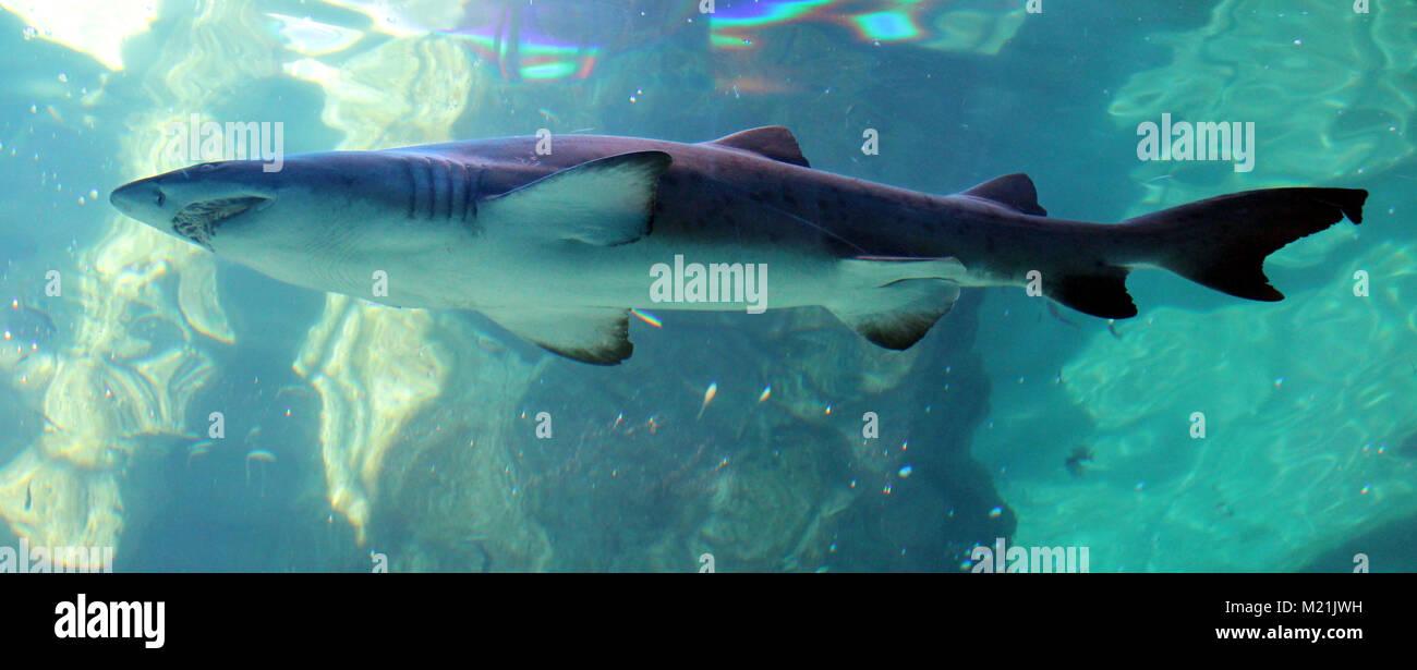 Shark underwater a Città del Capo in Sud Africa Foto Stock