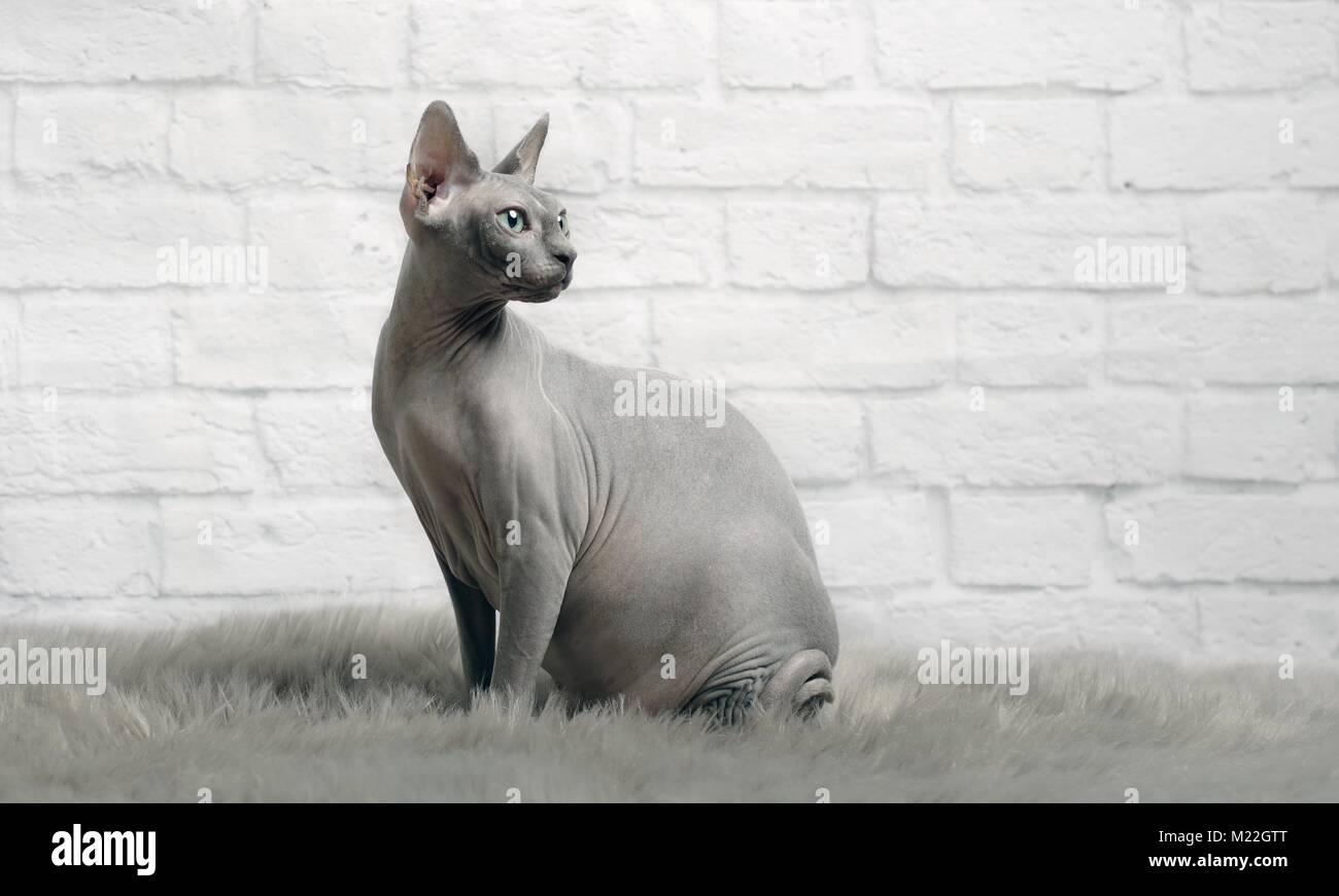 Grigio sphynx cat a sedersi su una coperta di pelo e lo sguardo obliquo Immagini Stock