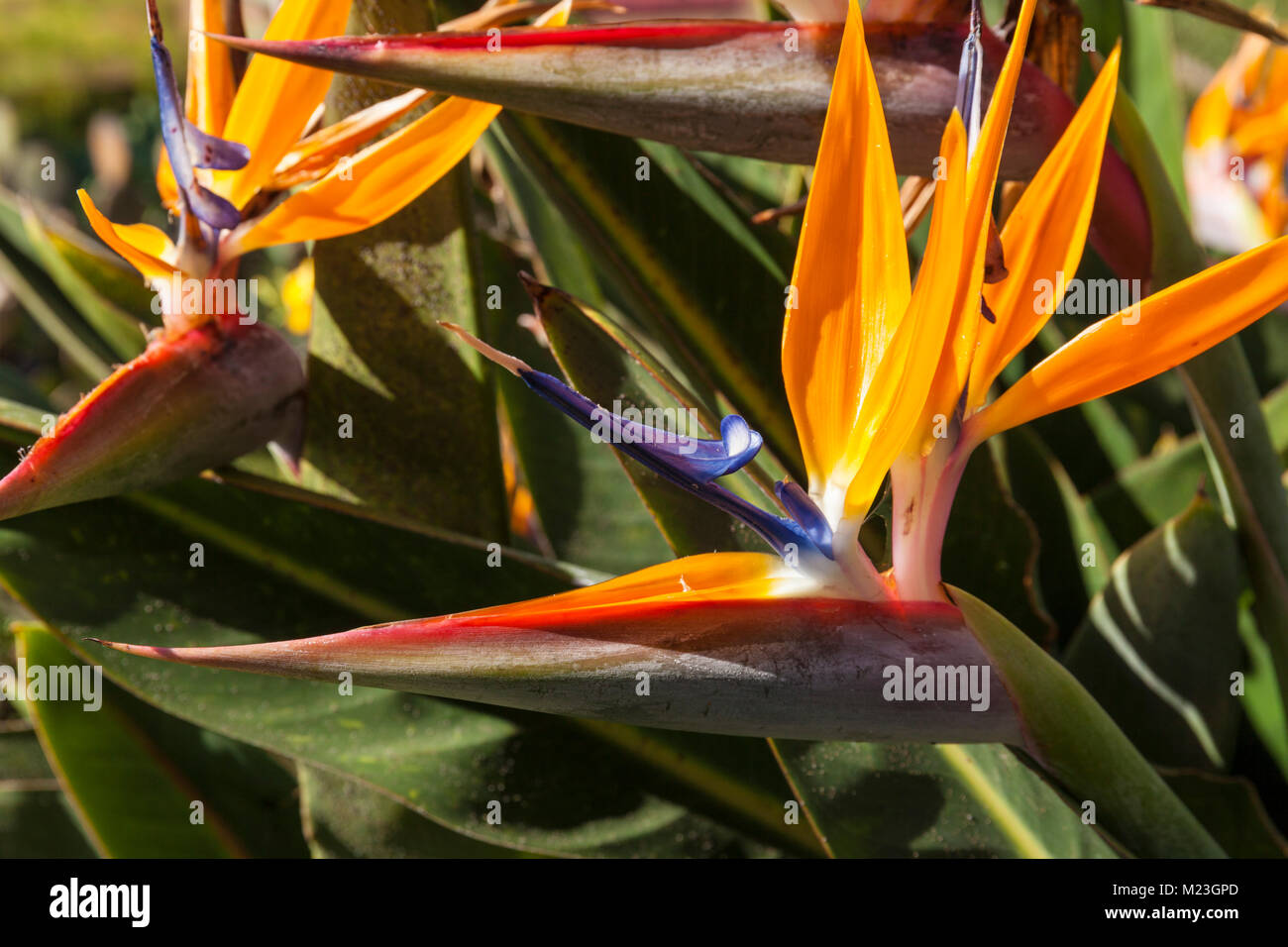 MADEIRA PORTOGALLO MADEIRA uccello del paradiso fiore Strelitzia reginae giardini botanici FUNCHAL Giardino Botanico Immagini Stock