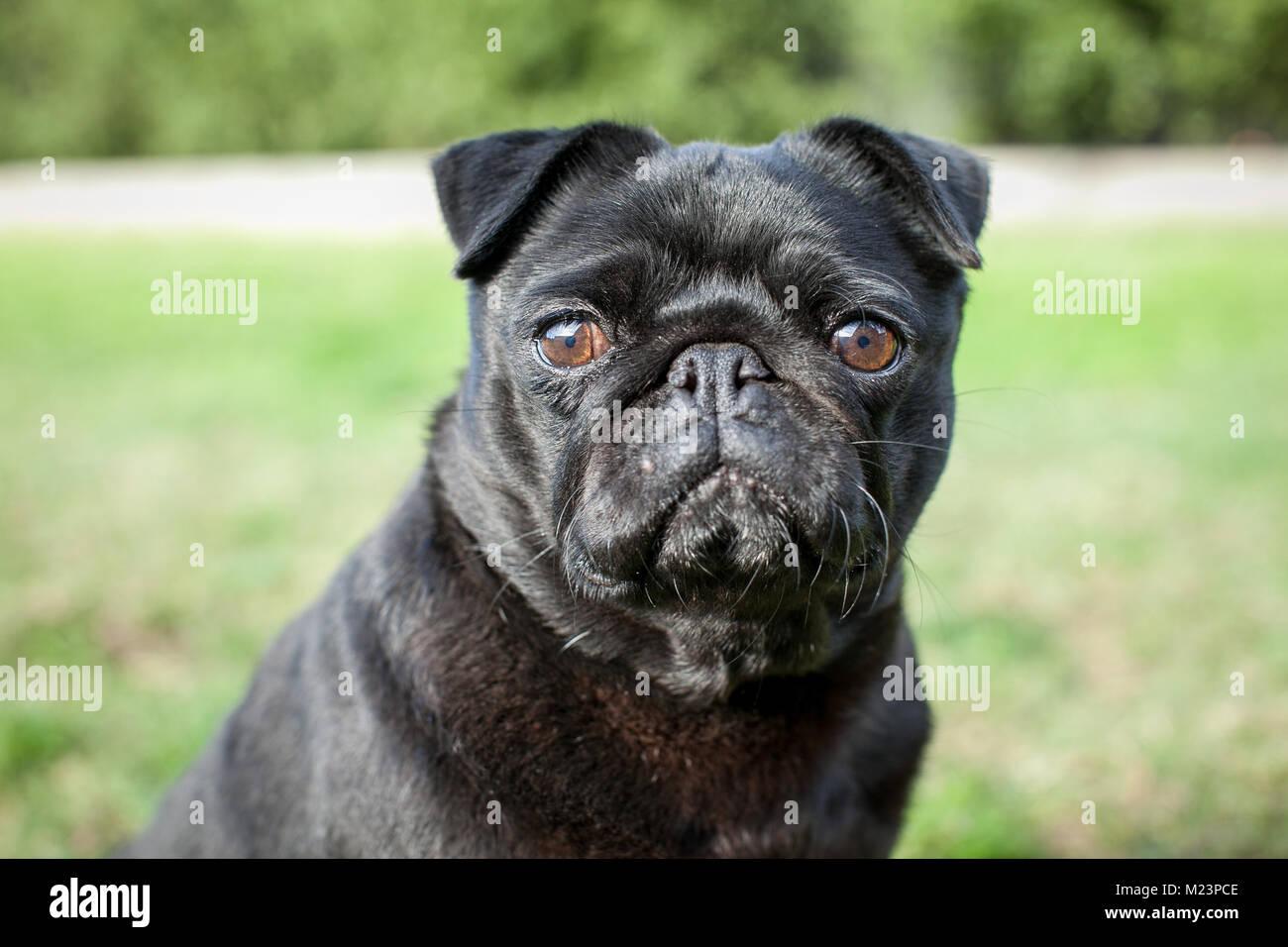 Il Pet Pug Immagini Stock