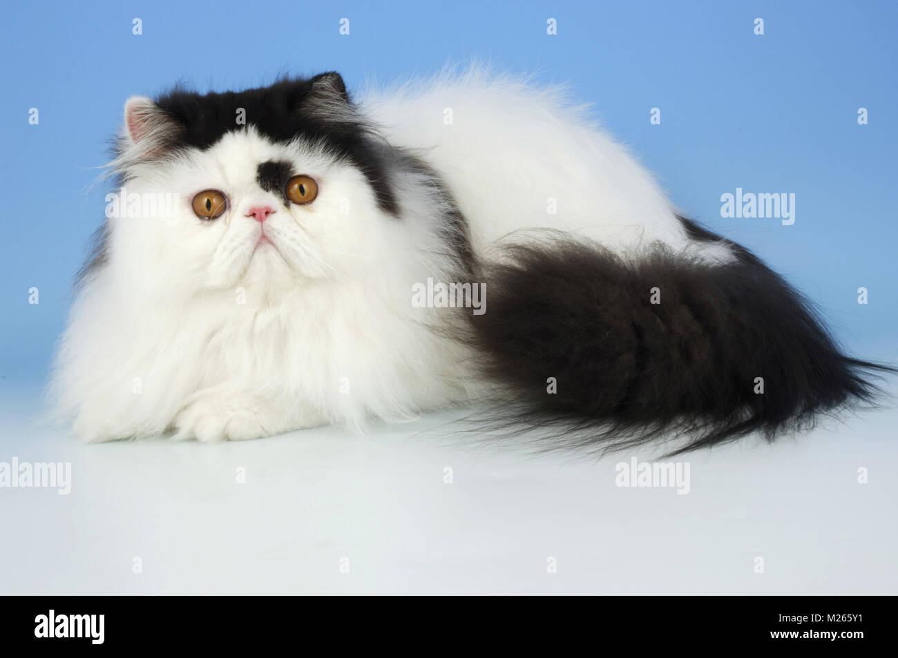 Bi Colore Bianco E Nero Gatto Persiano Sdraiato Foto Immagine